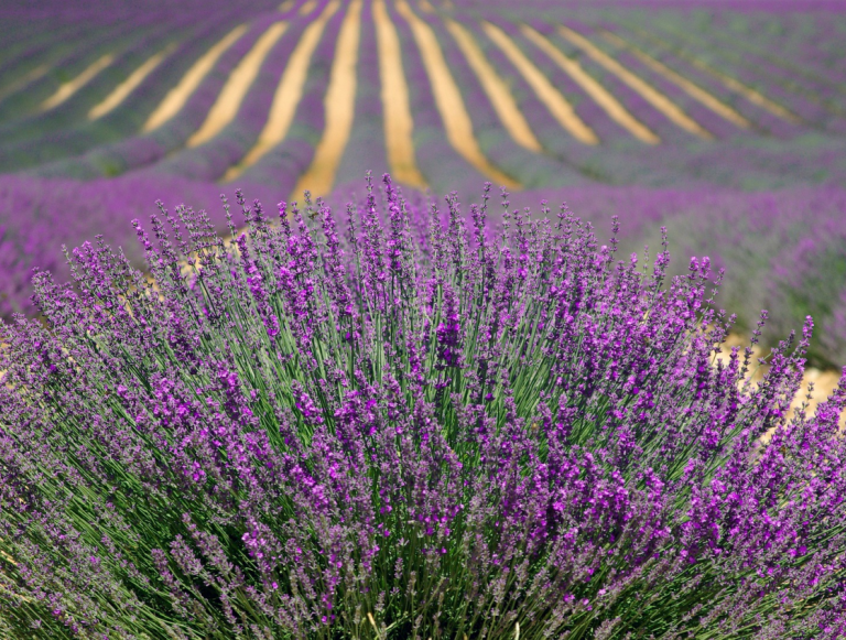 Lavender, an emblematic plant of Provence